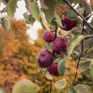 Apples, ready to be picked. Parishville Center Orchard.